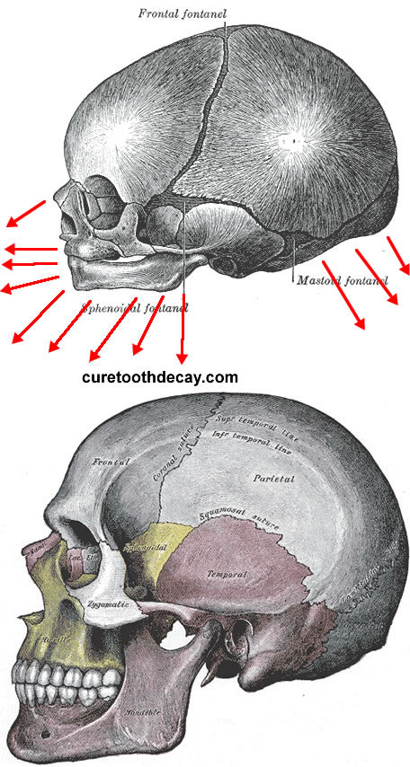 skull development from infant to adult